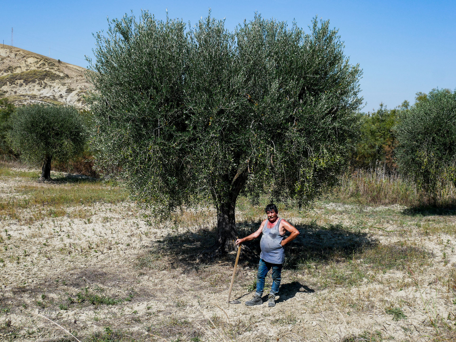 A countryman in an olive groves field