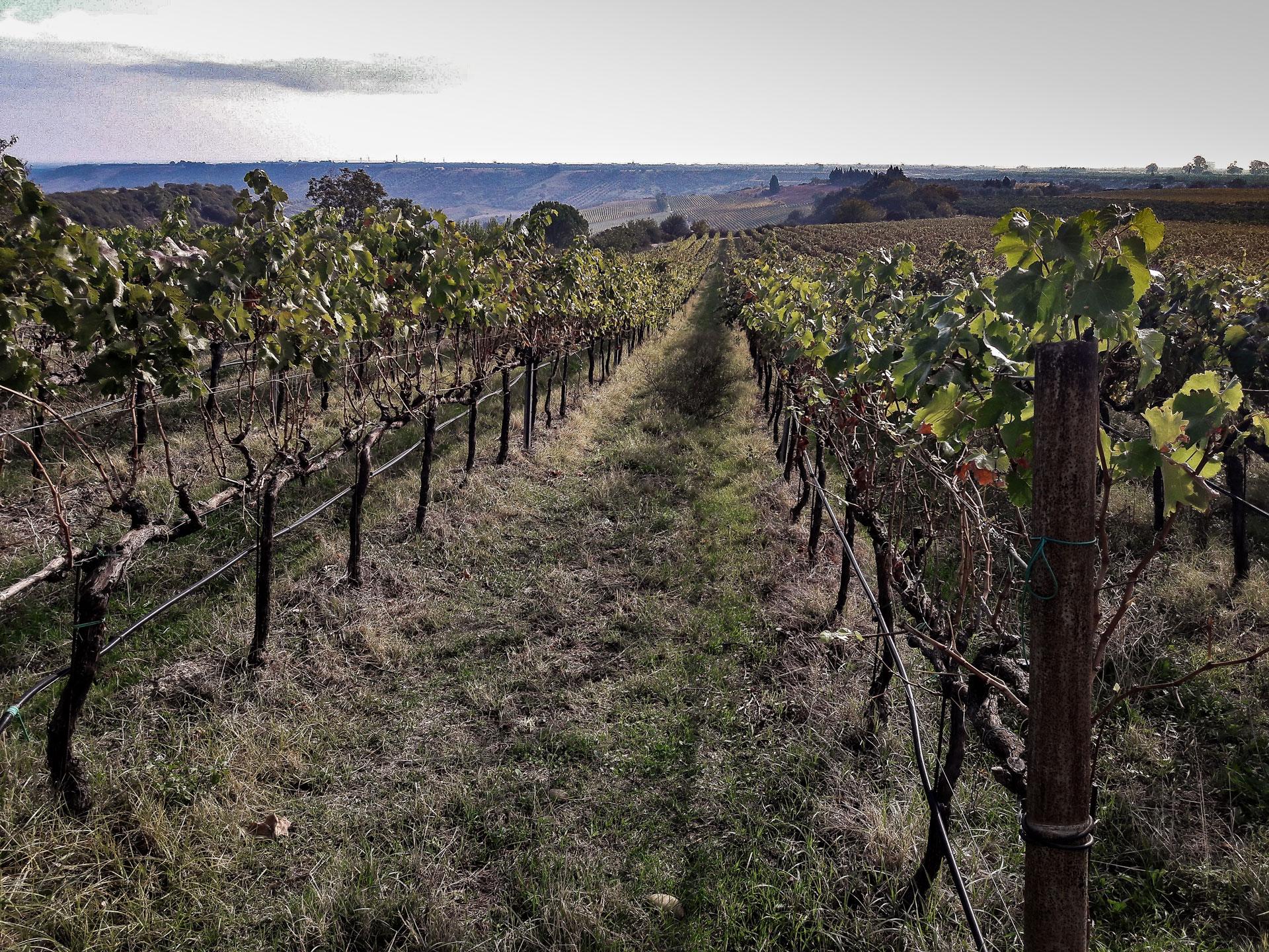 Vineyards around Montalbano Jonico